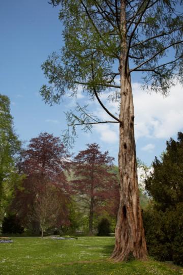 Mammutbaum im Stadtgarten Singen