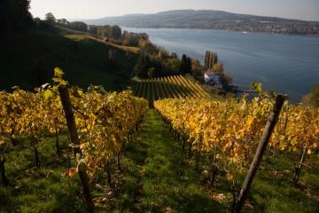 Weinanbau am Untersee