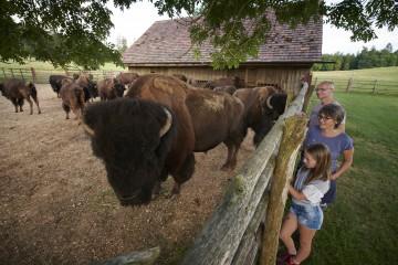 Bisons auf dem Bodanrück