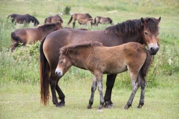 Langeland ist berühmt für seine Wildpferde